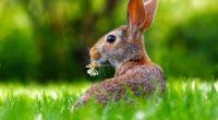 rase iepuri